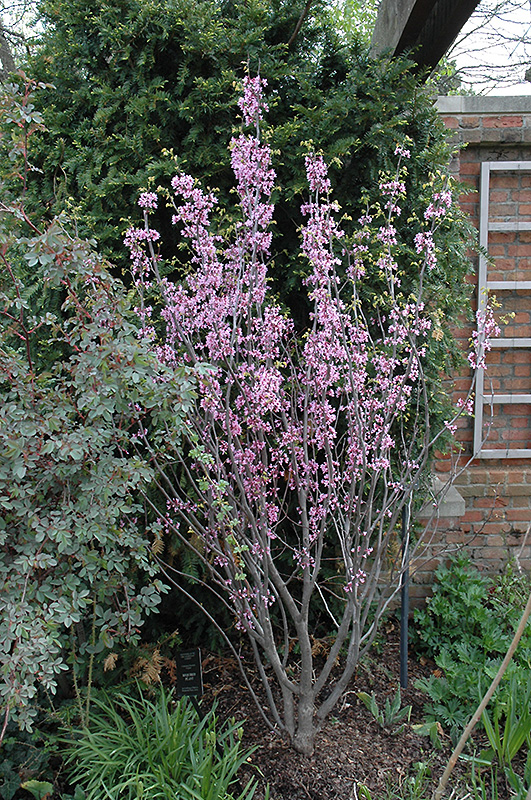 Texas Redbud (Cercis canadensis 'var. texensis') in ...